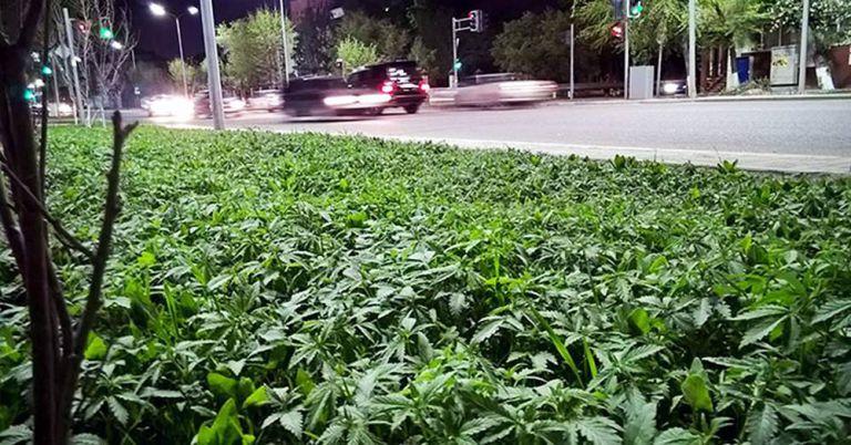 Marijuana in gardens