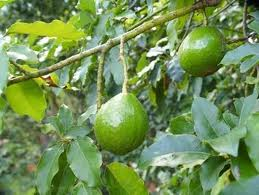 Ovacado tree