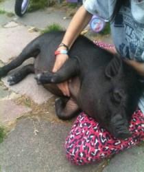 Pig mourned