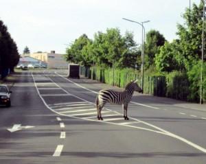 Zebra confused