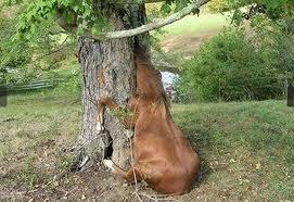 cow stuck