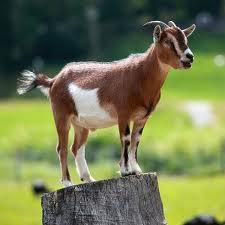 goat witness