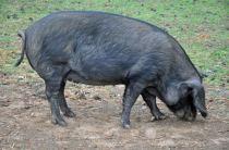 pig fighter