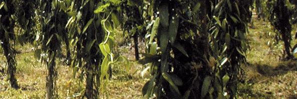 Gavumenti evudeyo ku balimi n'ababbi ba Vanilla